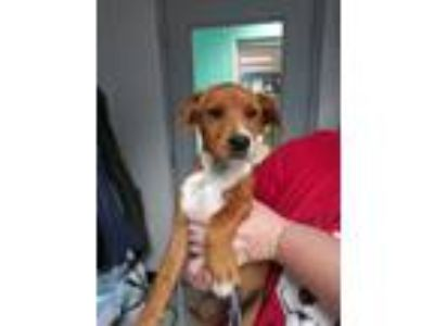 Adopt Hound Mix Puppies a Tan/Yellow/Fawn Hound (Unknown Type) / Labrador