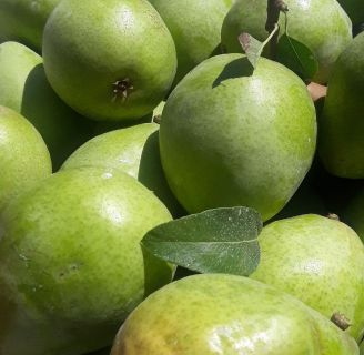 Apples and Pears, just picked, for sale NOW!
