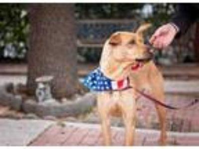 Adopt ARCANINE a Tan/Yellow/Fawn Labrador Retriever / Mixed dog in Converse