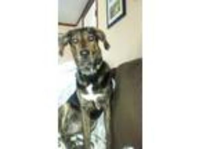 Adopt Bauer a Brindle Plott Hound / Labrador Retriever / Mixed dog in