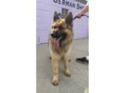 Adopt Apollo a German Shepherd Dog