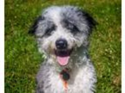 Adopt Buddy a Border Collie, Mixed Breed