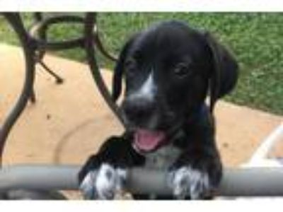 Adopt SPIDERMAN a Black - with White Catahoula Leopard Dog / Mixed dog in West