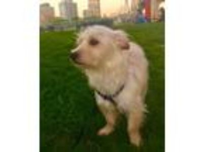 Adopt Glam a White Terrier (Unknown Type, Small) / Mixed dog in Staten Island