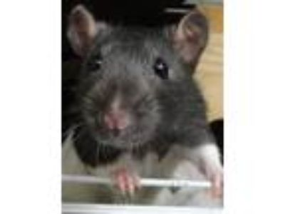 Adopt Clara a Rat small animal in Novato, CA (25889658)