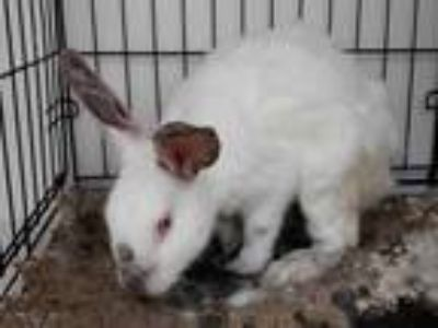 Adopt a White Himalayan / Mixed rabbit in Houston, TX (25693915)