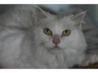 Adopt Skye a White Domestic Longhair (long coat) cat in Canoga Park