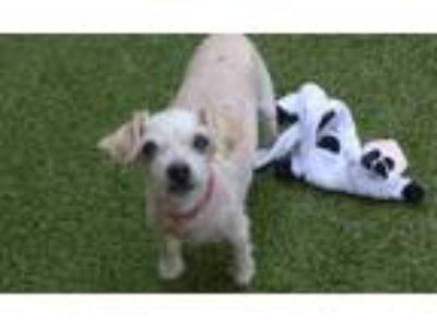 Adopt COCO PUCHI a White Poodle (Toy or Tea Cup) / Mixed dog in Minneapolis