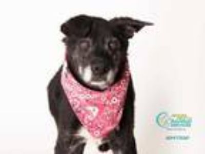 Adopt BLAKE a Black - with White Labrador Retriever / Mixed dog in Camarillo