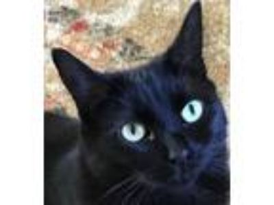 Adopt Diamond - bed snuggler - no counter jumping a Domestic Short Hair