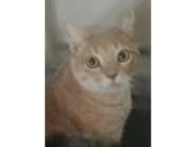 Adopt Blonde Boy INDOOR ONLY a Domestic Short Hair