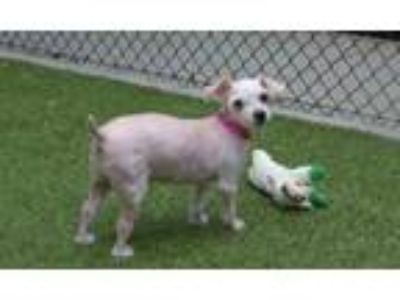 Adopt COCO PUCHI a Poodle