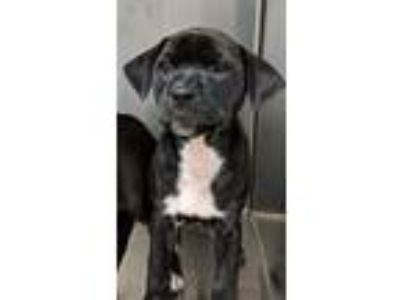 Adopt Grey a Pit Bull Terrier