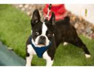 Adopt Lola a Black - with White Boston Terrier / Mixed dog in Fallbrook