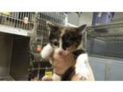 Adopt AGNES a Domestic Short Hair