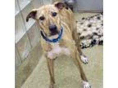Adopt Chex a Tan/Yellow/Fawn American Pit Bull Terrier / Mixed dog in