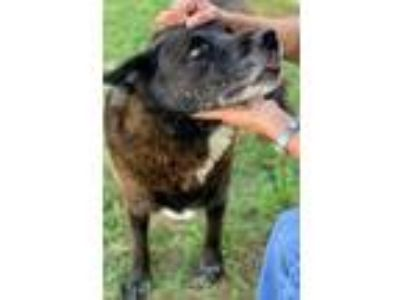Adopt CHERISH a Brown/Chocolate - with White Labrador Retriever / Mixed dog in