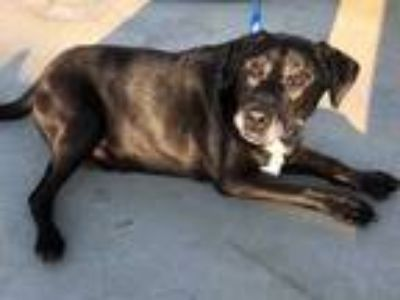 Adopt Luther a Black Labrador Retriever / Mixed dog in Visalia, CA (23293657)