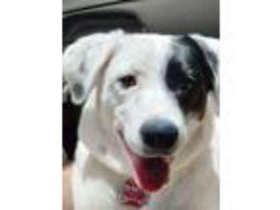 Adopt Arizona (Ari) a White - with Black Labrador Retriever dog in Canton