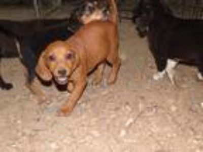 Adopt Spice a Red/Golden/Orange/Chestnut - with White Beagle / Hound (Unknown
