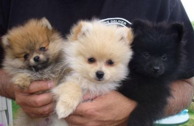 Cute Pomeranian Puppies for Rehoming-(317) 316-4692