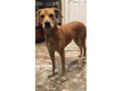 Adopt Oakley a Tan/Yellow/Fawn Catahoula Leopard Dog / Labrador Retriever /