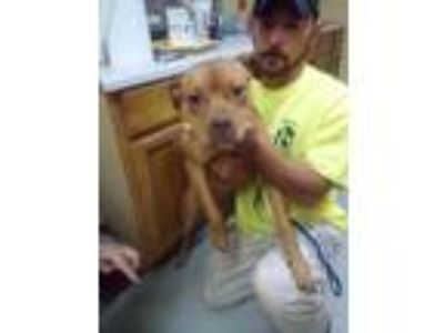 Adopt Olivia a Staffordshire Bull Terrier / Mixed dog in Dyersburg