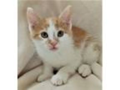 Adopt Pineapple (Downers Grove) a Domestic Short Hair