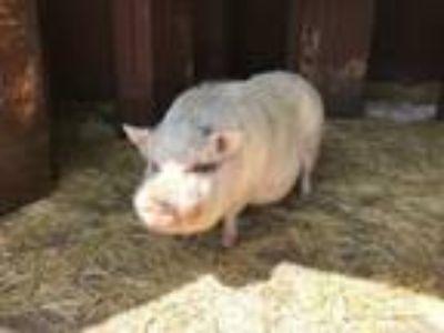 Adopt Tater a Pig