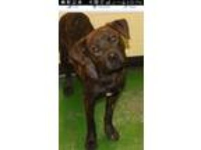 Adopt Pete a Brindle Plott Hound / Mixed dog in Memphis, TN (18329046)
