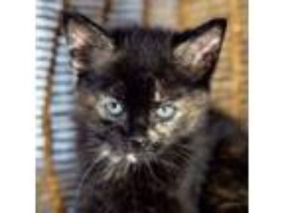 Adopt Pool Noodle a Domestic Short Hair
