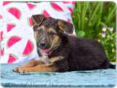 Adopt Tuscany a German Shepherd Dog