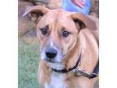 Adopt Bella a German Shepherd Dog / Labrador Retriever / Mixed dog in White