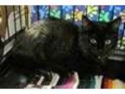 Adopt Kosey a All Black Domestic Mediumhair / Domestic Shorthair / Mixed cat in