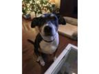 Adopt Lindy a Tricolor (Tan/Brown & Black & White) Border Collie / Mixed dog in