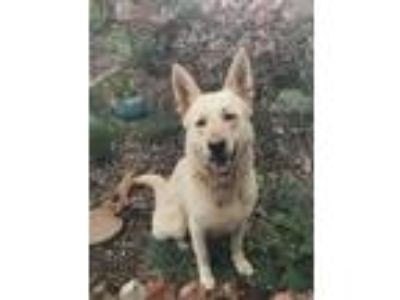 Adopt Achilles a White - with Tan, Yellow or Fawn German Shepherd Dog / Mixed