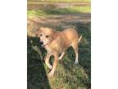 Adopt Ginger a Tan/Yellow/Fawn Labrador Retriever / Mixed dog in Katy
