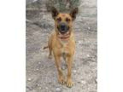 Adopt Traveler a Tan/Yellow/Fawn Shepherd (Unknown Type) / Chow Chow / Mixed dog