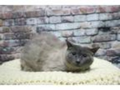 Adopt Ty a Gray or Blue Domestic Shorthair / Domestic Shorthair / Mixed cat in