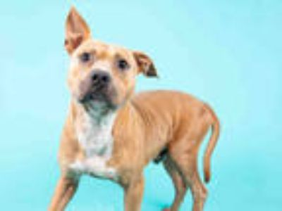 Adopt GALO a Tan/Yellow/Fawn - with White American Pit Bull Terrier / Mixed dog
