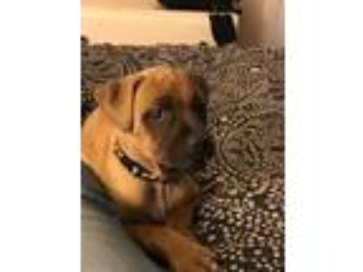 Adopt Freddie Louise a Tan/Yellow/Fawn - with Black Boxer / Mixed dog in Albany