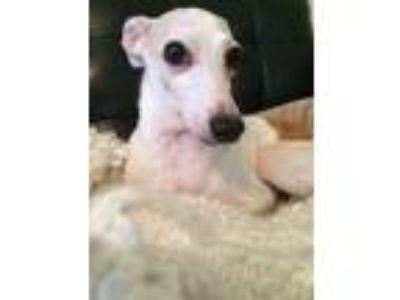 Adopt Hunter a Red/Golden/Orange/Chestnut Italian Greyhound / Mixed dog in