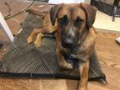 Adopt Annie a Black - with Tan, Yellow or Fawn Belgian Shepherd / Labrador