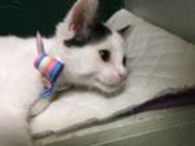 Adopt Bubba a Domestic Short Hair