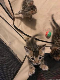 Beautiful Bengal Kittens for Adoption