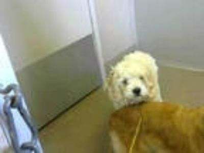 Adopt *CINDER a White Poodle (Toy or Tea Cup) / Cocker Spaniel / Mixed dog in