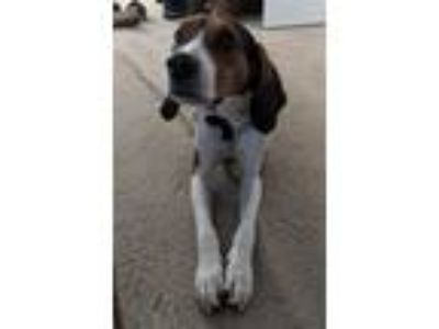 Adopt Maggie Tree Walking Coonhound Cat and Dog Friendly a Tricolor (Tan/Brown &