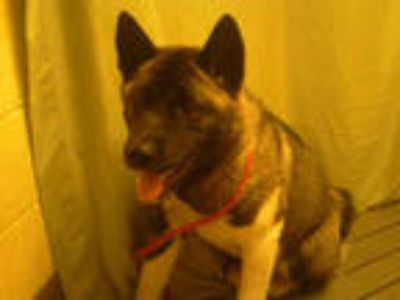 Adopt a Black - with White Akita / Mixed dog in Upper Marlboro, MD (25358134)