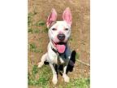 Adopt Arya a White American Pit Bull Terrier / Mixed dog in Philadelphia