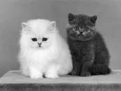 Cute Munchkin Kittens, for sale